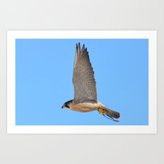 Peregrine Falcon Close Up 2 Art Print
