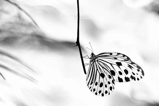 The Paper Kite Butterfly in B&W Art Print