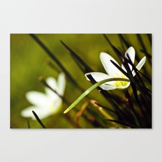 Shyness Canvas Print