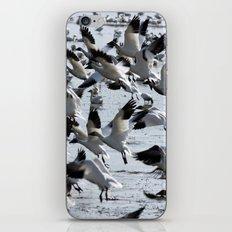 Oie des neiges - Snow Goose - ganso blanco iPhone & iPod Skin
