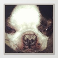 Canvas Print featuring Boston Terrier Face by Jenn Bress