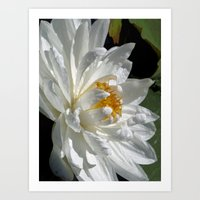 Lotus White Art Print