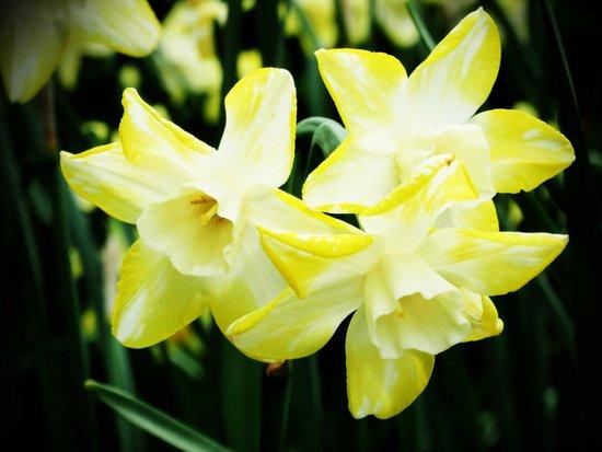 Daffodil family Art Print