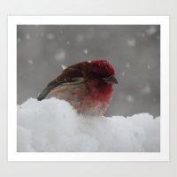 Purple GrosBeak Bird Art Print