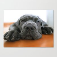 My dog, a Mastino Napoletano puppy, when is bored! Canvas Print