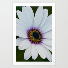 Blue Eyed Daisy III Art Print