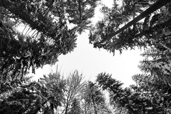 snow + trees Canvas Print