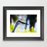 Sandhill Crane Framed Art Print