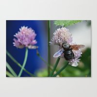 Carpenter Bee 1 Canvas Print
