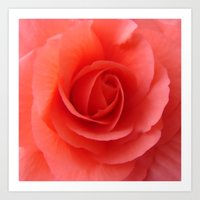 Rose Delicate Art Print