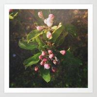Appletree Blossom Art Print