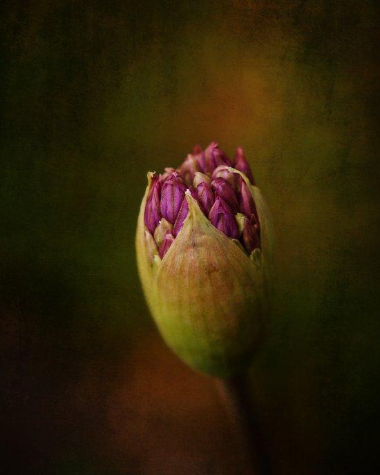 Allium in May Art Print