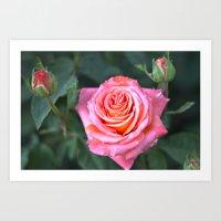 Fine Art Photography - Flowers - Botanical Art - Orange, Peach, Coral Rose Photograph Art Print