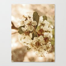 white blossoms on a tree. Canvas Print