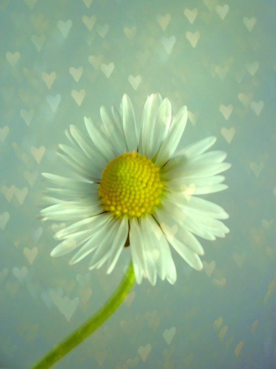 Daisy Love - Flower Art Print