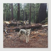 Injured Coyote Canvas Print