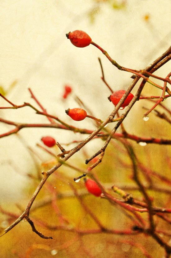vintage rosehips Canvas Print