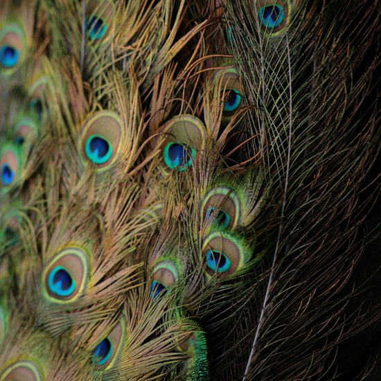Peacock #1 Canvas Print