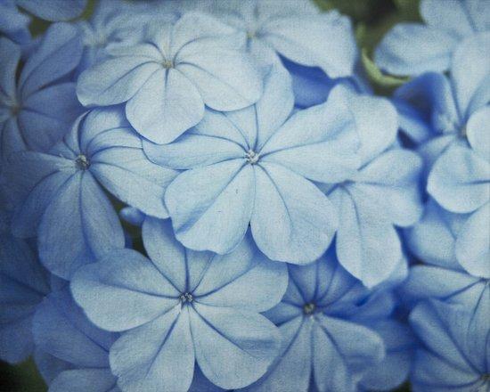 Blue Plumbago Art Print