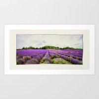Lavender Fields. Art Print