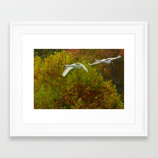 Swans in flight Framed Art Print