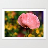 Gorgeous Pink Poppy  Art Print