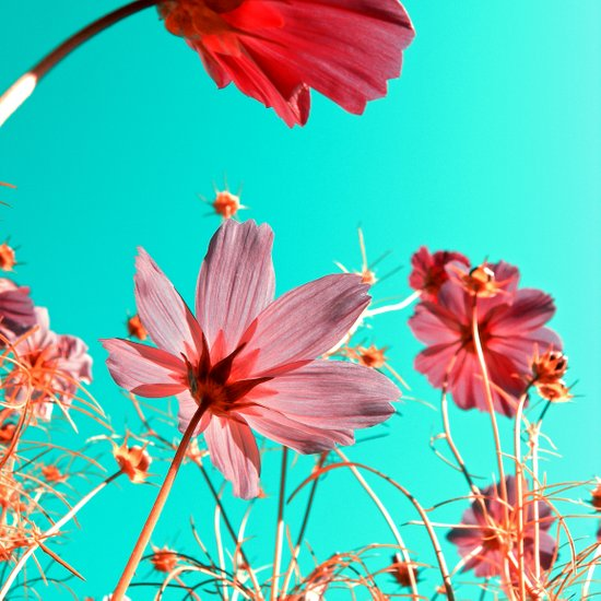 cosmos flowers abstract I Canvas Print