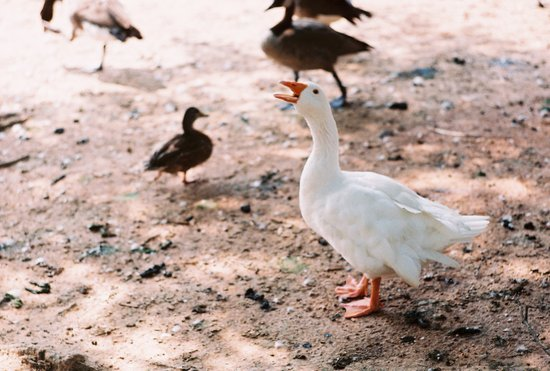 """Think Goose"" Art Print"