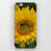 September Sunflower iPhone & iPod Skin