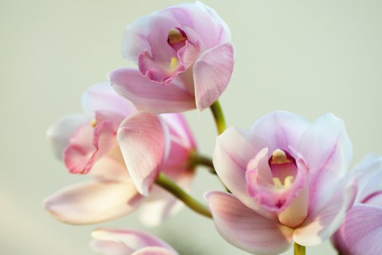 Cymbidium orchid 9770 Canvas Print