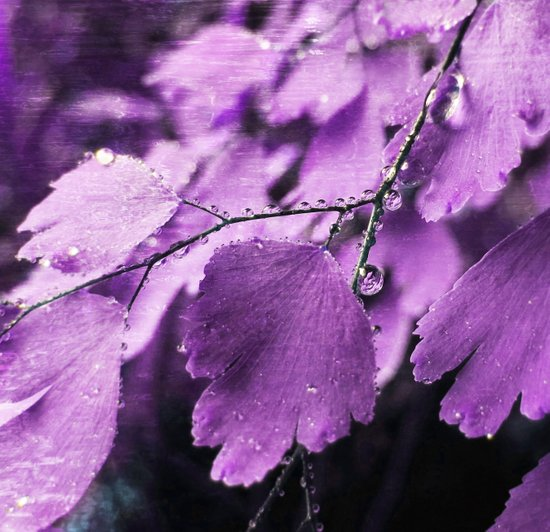 Lavender Fern Canvas Print