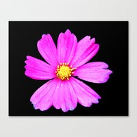 Cosmos Flower Photograph… Canvas Print