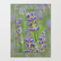 Lavender From Brittany Canvas Print