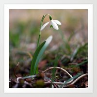 Snowdrop -  Spring Flower Nature Macro Photography Art Print