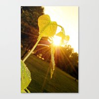 Redbud and Sunflare Canvas Print