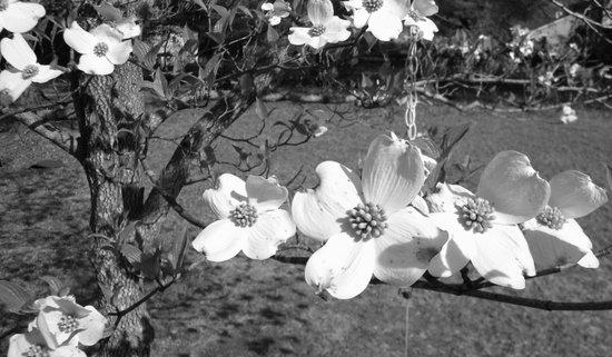 Blooms of a Dogwood Art Print
