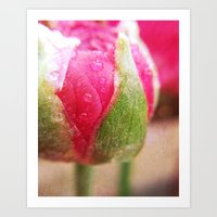 Ranunculas In The Spring Dew Art Print