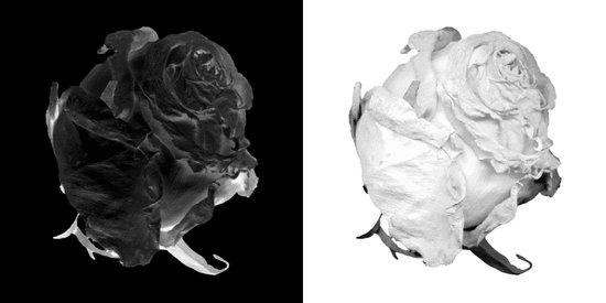 Black and White Rose version 2 Art Print