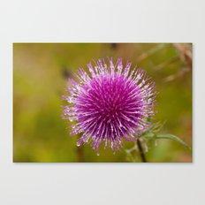 Thistle flower 6389 Canvas Print