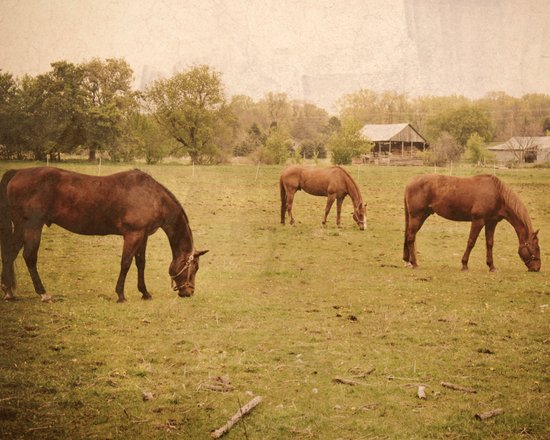 Three Horses Grazing.  Horse Photograph.  Landscape and Nature Photo. Wisconsin Art Print