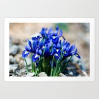 Iris Watercolor Art Print