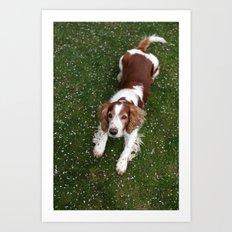 Welsh Springer Spaniel - Scott Art Print