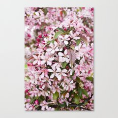Apricot blossoms Canvas Print