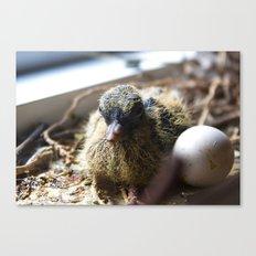 new born dove Canvas Print