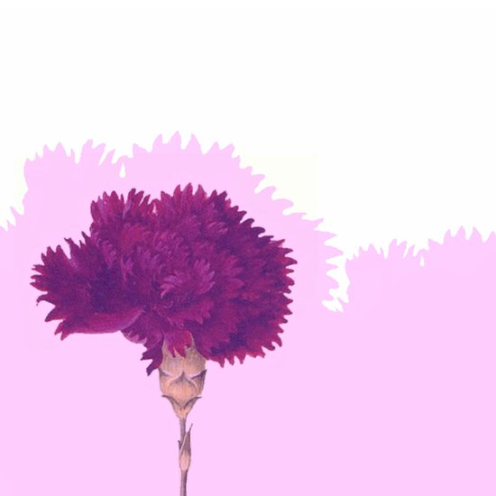 purple carnation Art Print