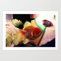 Freshwater Gold Fish Art Print