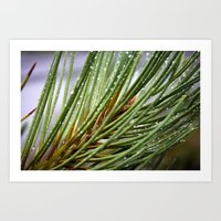 Water Drops On A Pine Tree Branch Art Print
