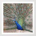 beautiful peacock Art Print