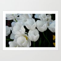 White Tulips Art Print