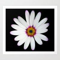 Colour Osteospermum Art Print